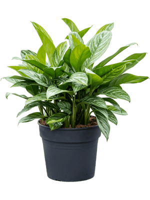 Aglaonema stripes