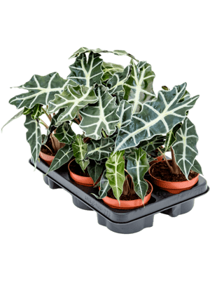 Alocasia polly 6/tray