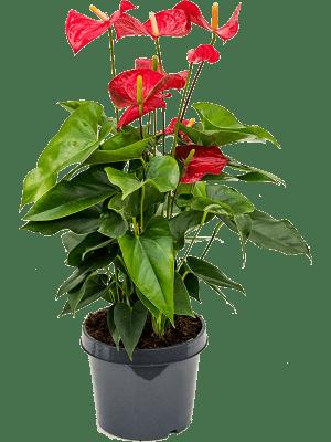 Anthurium andraeanum 'Sierra' Busch Rot 21/17 60 - Pflanze