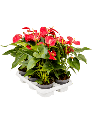 Anthurium and. 'Sierra' 6/tray
