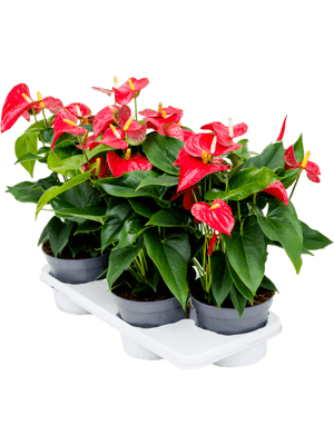 Anthurium and. sierra 4/tray