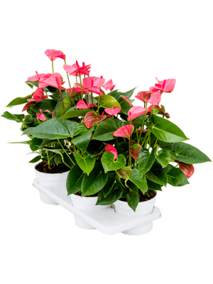 Anthurium and. pink champion 4/tray