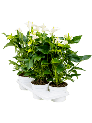 Anthurium and. white champion 4/tray