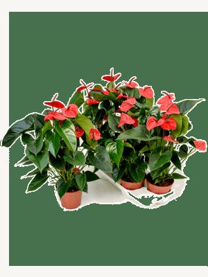 Anthurium and. dark red 4/tray