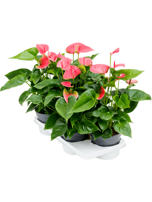 Anthurium and. maine 4/tray