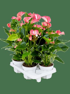 Anthurium and. livium 4/tray