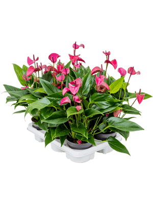 Anthurium and. 'Cirano' 6/tray