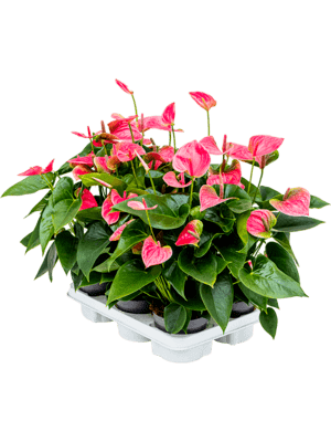 Anthurium and. sweetdream 6/tray