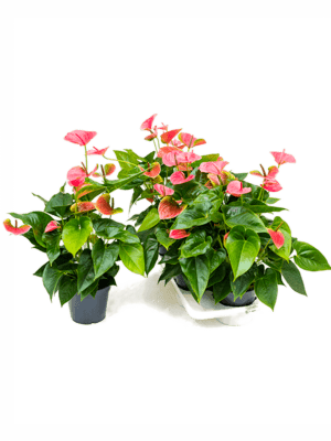 Anthurium and. sweetdream 4/tray