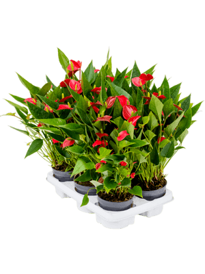 Anthurium and. million flower 6/tray