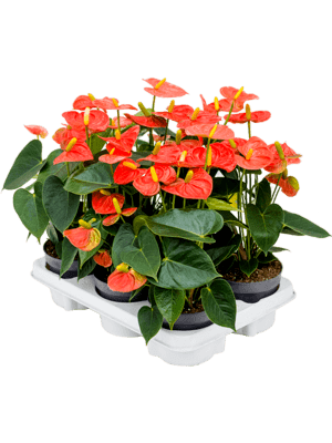 Anthurium and. 'Prince of orange' 6/tray