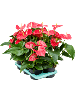 Anthurium and. michigan 6/tray