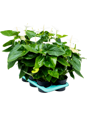 Anthurium and. alaska 6/tray