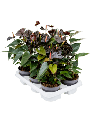 Anthurium and black 6/tray