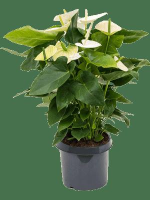 Anthurium and. alaska