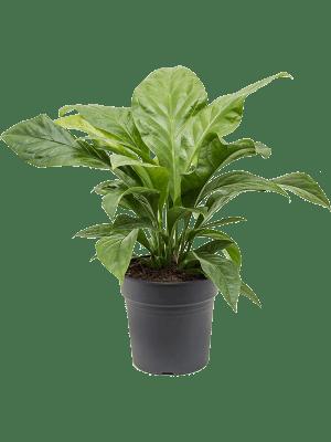 Anthurium jungle bush