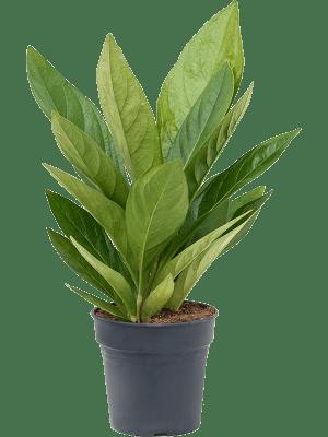 Anthurium jungle hybride
