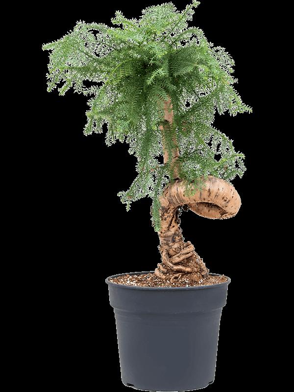 Araucaria cunninghamii Bonsai 38/32 110 - Plante - Main image