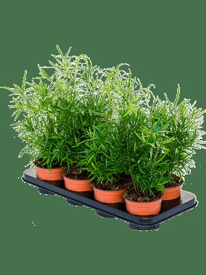 Asparagus falcatus 6/tray