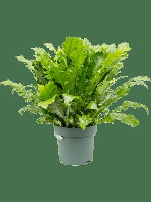 Asplenium green miracle