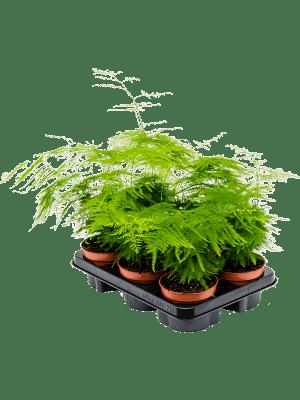 Asparagus plumosus 6/tray