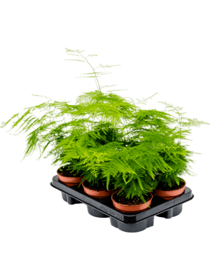 Asparagus plumosus 6/tray  12/10 30 - Pflanze