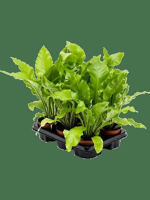 Asplenium nidus 6/tray  12/11 30 - Plant
