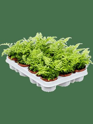 Athyrium spicatum 12/tray