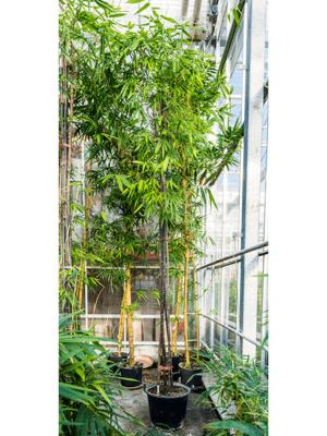 Bambusa nigra