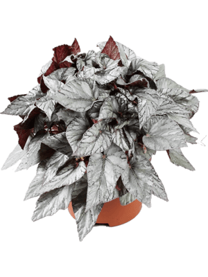 Begonia arctic breeze 4/tray