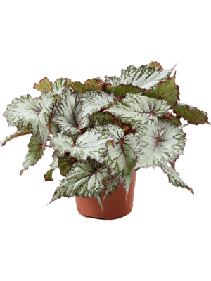 Begonia 'Asian tundra' 6/tray  12/9 20 - Plant