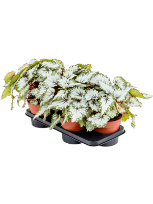 Begonia asian tundra 6/tray