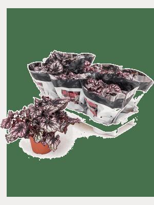 Begonia cumbia 6/tray