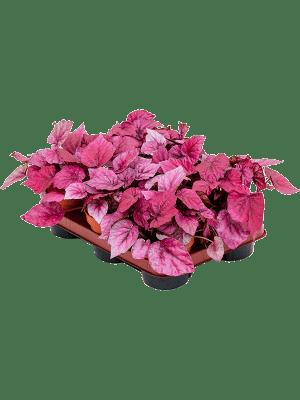Begonia 'Inca flame' 6/tray  12/9 20 - Plant