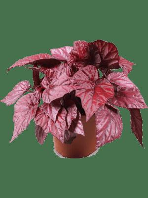 Begonia inca flame 4/tray