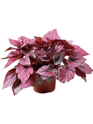 Begonia indian summer 4/tray