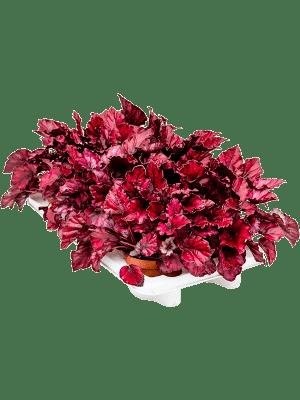 Begonia redbull 6/tray
