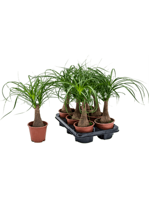 Beaucarnea recurvata 6/tray
