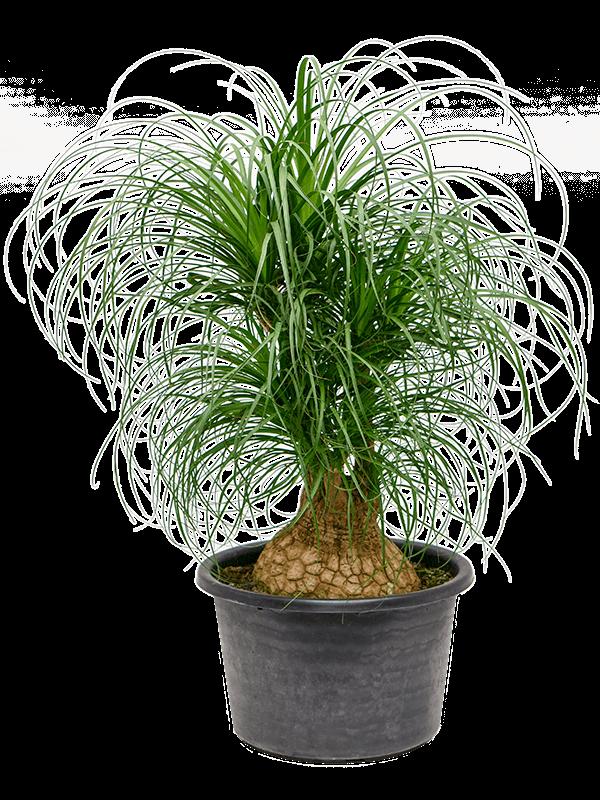 Beaucarnea recurvata Ramifié (80) 40/26 120 - Plante - Main image
