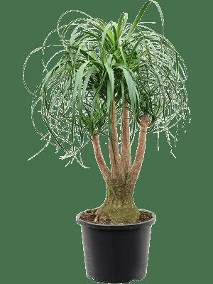 Beaucarnea recurvata Ramifié (50-60) 32/24 100 - Plante