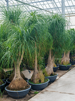 Beaucarnea nolina Branched 90/32 300 - Plant
