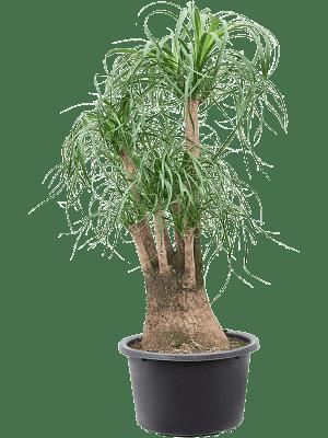 Beaucarnea recurvata Ramifié 41/24 120 - Plante