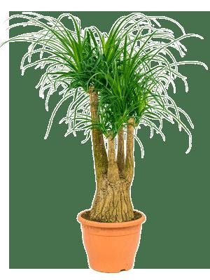 Beaucarnea recurvata Ramifié (60) 29/22 110 - Plante