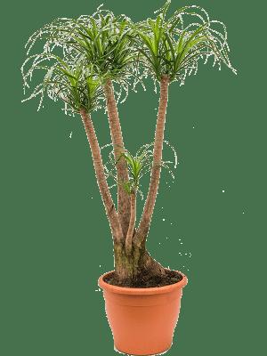 Beaucarnea recurvata Ramifié 35/28 140 - Plante