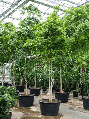 Bulnesia arborea Tige 96/55 500 - Plante