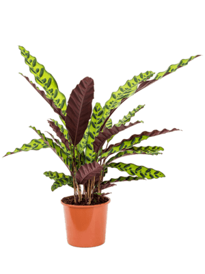 Calathea insignis