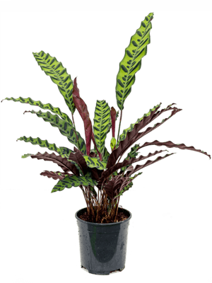 Calathea insignis Busch 19/17 60 - Pflanze