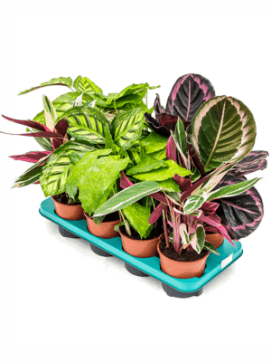 Calathea mix 8/tray