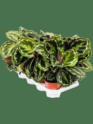 Calathea 'Medallion' 8/tray  14/12 55 - Plant