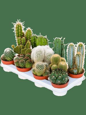 Cactus mix 11/tray